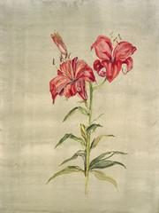 Diplomat Lily